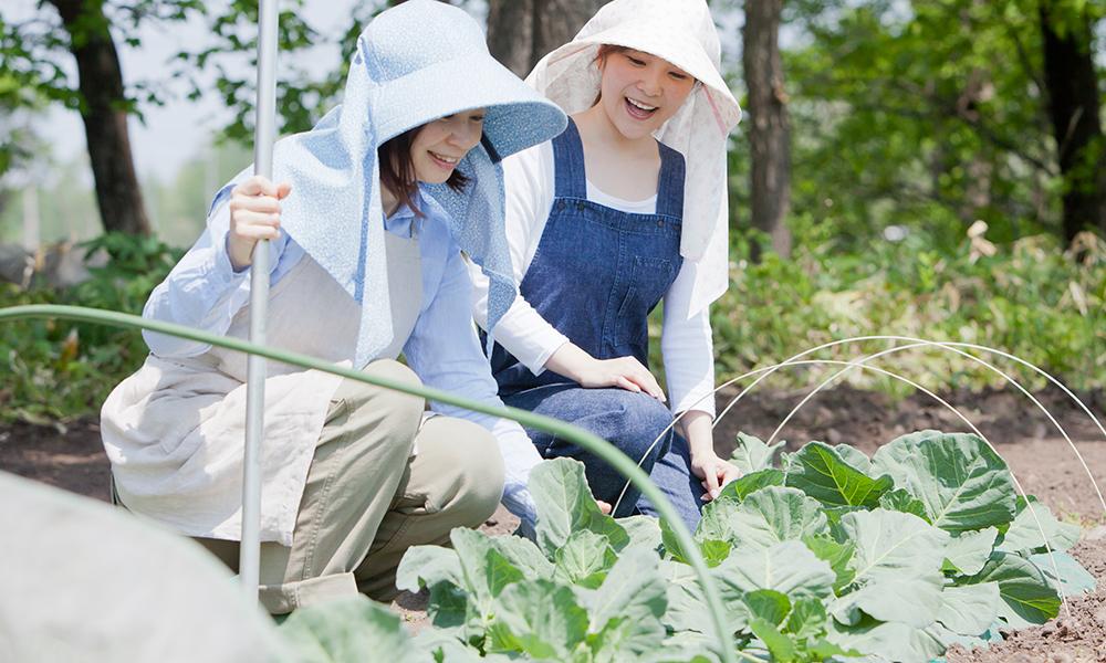 キャベツ畑でキャベツを観察する2人の女性