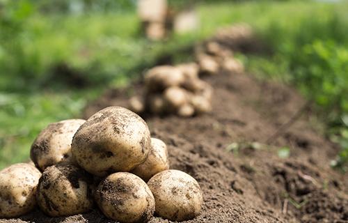 畑に積まれた土つきの獲れたてジャガイモ
