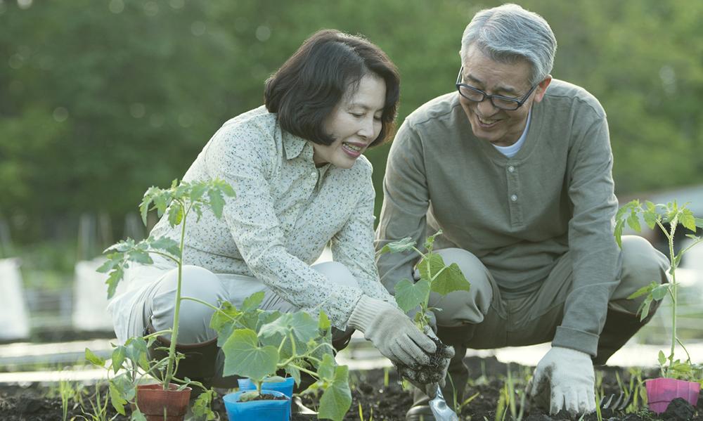 耕した畑にカボチャの苗を植える老夫婦