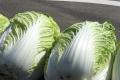 ハクサイの栽培方法